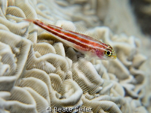 Small Blenny by Beate Seiler 